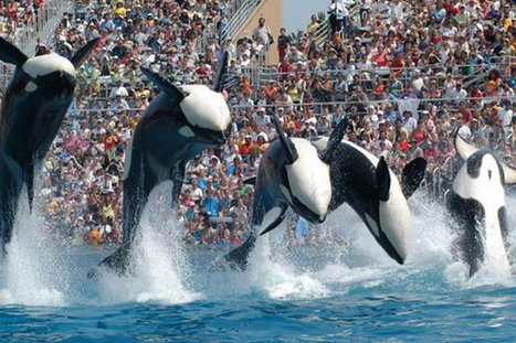 #Activists to #Orca #Enslavers: ~ #Captivity is Wrong please TakePart ... | Rescue our Ocean's & it's species from Man's Pollution! | Scoop.it