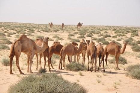 Le Lait de Chamelle du Sahara à l'honneur - AgriMaroc.ma | Agriculture et Alimentation méditerranéenne durable | Scoop.it