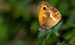 Butterfly decline is no surprise to bee-liners | Letters | GarryRogers Biosphere News | Scoop.it