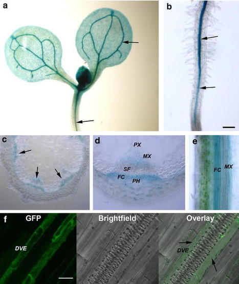 Loss of function of folylpolyglutamate synthetase 1 reduces lignin content and improves cell wall digestibility in Arabidopsis | PlantBioInnovation | Scoop.it
