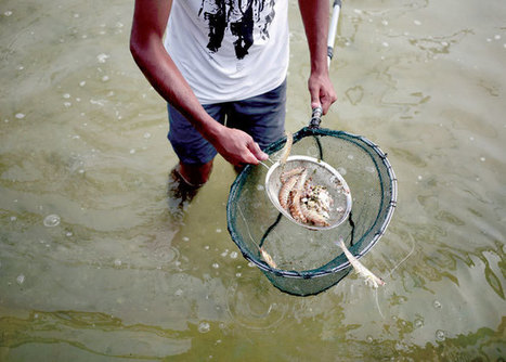 Palestinians turning to fish farming | Aquaculture Directory | Scoop.it
