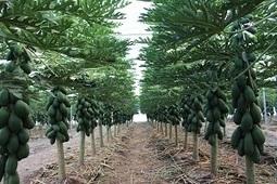 Tecnova trabaja en un proyecto de cultivo de papaya bajo invernadero | Cultivos | Scoop.it