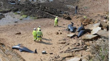 Toxic chemicals found in beached whales in Fife - BBC News | Farming, Forests, Water & Fishing (No Petroleum Added) | Scoop.it
