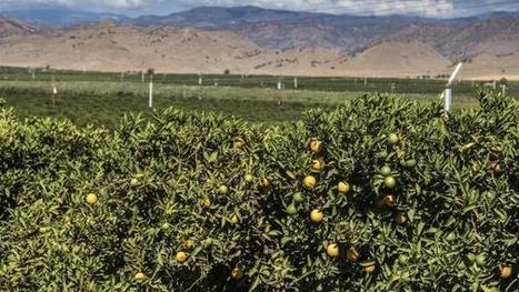 NASS: California Navel orange estimate is 81 million cartons | Orchard Crops content from Western Farm Press | Citrus Science | Scoop.it
