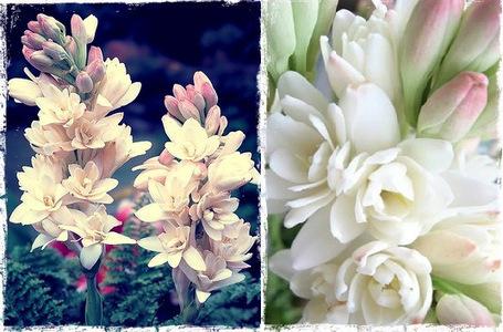 Night Blooming Plants That Smells Good | Garden and Outdoor Australia 2 | Scoop.it