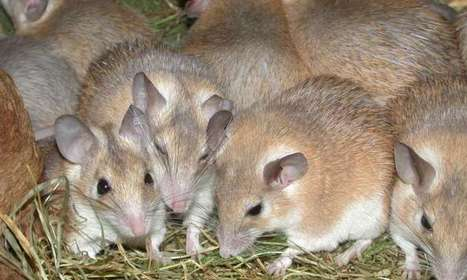 Rodent with a human-like menstrual cycle found | SciFrye | Scoop.it