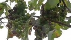 La cuvée 2014 du vin de Cilaos est anéantie par le cyclone Bejisa - Réunion 1ère | Ma Cave En France | Scoop.it