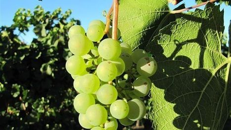 Satellite technology helping to produce the perfect grape | Year 12 Geography | Scoop.it