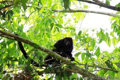 Black Howler Monkey in Double Head Cabbage Village in Belize | Belize in Photos and Videos | Scoop.it