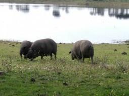 Modificada la Norma del Ibérico para establecer la equivalencia con el cerdo de raza Alentejana | DEHESAS IBERICAS | Scoop.it