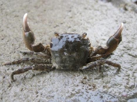 Le crabe à pinceaux, un envahisseur particulier | Ecology view | Scoop.it