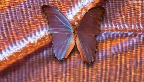 D'où vient la couleur des ailes de papillon ?   EntomoScience   Scoop.it