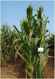 Maize production and breeding: a 30-year partnership with farmers in China | Consortium of International Agricultural Research Centers | MAIZE | Scoop.it