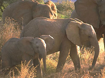 Monitoring elephant population demographics with sound | Where do Conservationists stand in the fight against poaching and habitat loss? | Scoop.it