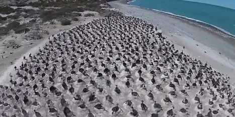 Scientists have captured an incredible drone video of 5,000 birds nesting on a beach in Argentina   Earth Citizens Perspective   Scoop.it