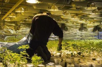 Nederwiet de grens over | Medicinale-cannabis | Scoop.it