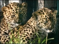 BBC NEWS | UK | England | Kent | Two rare Amur leopard cubs born | IB CORE 3: PATTERNS IN ENVIRONMENTAL QUALITY AND SUSTAINABILITY | Scoop.it