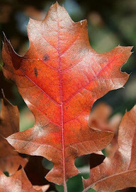 Oaks among the Highlights of Fall   Landscape Management   Scoop.it