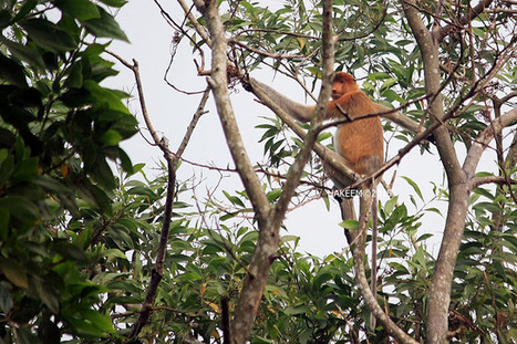 Photo 196   BEKANTAN -WILD INDONESIA   Bekantan - Wild Indonesia   Scoop.it
