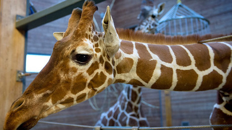 Girafficide: Second healthy giraffe named Marius may be ... - RT.com | Zoos should not exists | Scoop.it