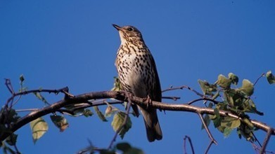 Dawn chorus goes global at RSPB's Arne Nature Reserve | 100 Acre Wood | Scoop.it