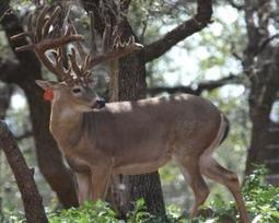 DNAd Bred Doe Total 14 in group | Bred Does and Exotic Deer For Sale | Hunting | Scoop.it