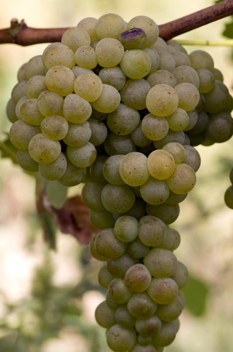 Verdicchio - Villa Bucci   Wines and People   Scoop.it