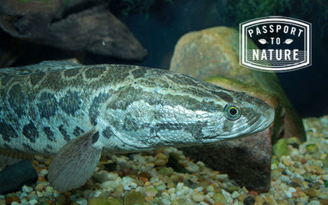 The Walking Fish   The Nature Conservancy   World Environment Nature News   Scoop.it