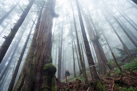 Islands in the Sky: Chopping Ancient Walbran Valley Forest Spells Extinction for Treetop Species | Canada and its politics | Scoop.it