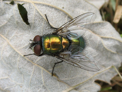 Des mouches pour mesurer… la biodiversité | EntomoNews | Scoop.it