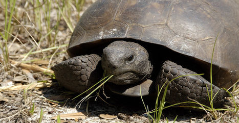 End the Delay and Protect Eastern Gopher Tortoises | Our Evolving Earth | Scoop.it