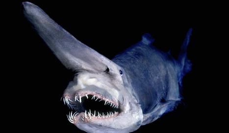 Deep Sea Goblin Shark | Amazing Science | Scoop.it