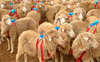 Sheep backpacks reveal flocking strategy | Social Foraging | Scoop.it