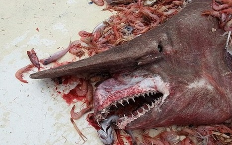 Rare goblin shark caught in US | Our Oceans | Scoop.it