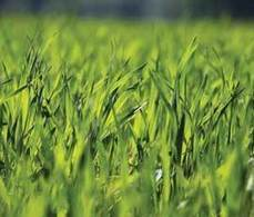Rothhamsted mention: Rothamsted applies for autumn GM wheat trial | BIOSCIENCE NEWS | Scoop.it