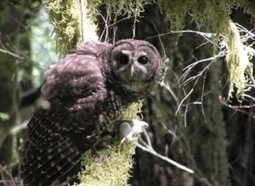 Northern Spotted Owl Abandoned to Whims of CAL FIRE   GarryRogers NatCon News   Scoop.it