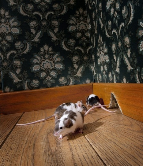 Mice Infestation In Your Home - Now What? | Business And Marketing | Scoop.it