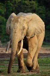 Elephant poaching increases in Central African Republic after government overthrow   Wildlife and Environmental Conserva