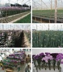 Genetic modification; the development of transgenic ornamental plant varieties - Chandler - 2012 - Plant Biotechnology Journal - Wiley Online Library | plant cell genetics | Scoop.it