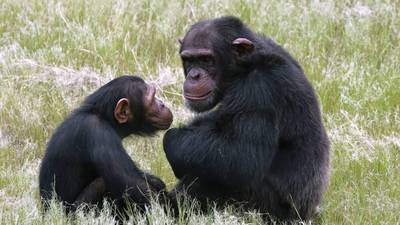Great apes have midlife crises too, study finds | Agua | Scoop.it