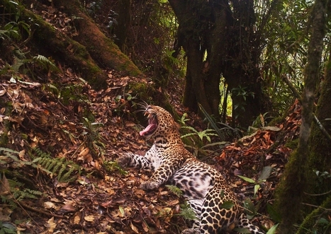 Despite threats to habitat, new photos provide hope for endangered Javan ... - Forests Blog, Center for International Forestry Research (blog) | Environment | Scoop.it