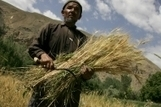 FAO -News Article:Wheat rust diseases remain a constant but neglected threat | Wheat Rusts | Scoop.it
