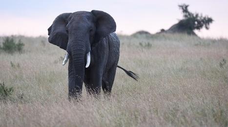 Les éléphants d'Afrique vont-ils disparaître d'ici 10 à 20 ans? | Biodiversité & Relations Homme - Nature - Environnement : Un Scoop.it du Muséum de Toulouse | Scoop.it
