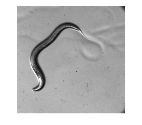 Nanomagnetic remote control of animal behavior | Neuronal devices | Scoop.it