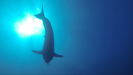 SharkCam tracks great whites into the deep | Soggy Science | Scoop.it