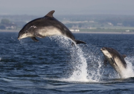 Moray Firth #dolphin #jetski #harassment claim probed ~ they should be banned! | Rescue our Ocean's & it's species from Man's Pollution! | Scoop.it