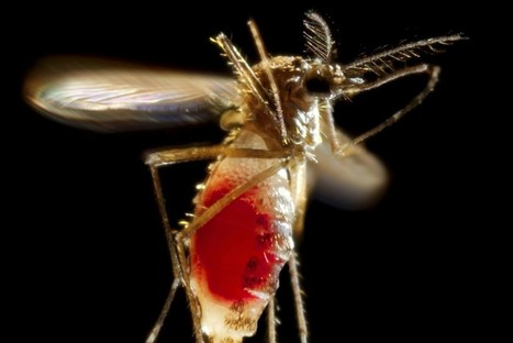 Genetically Modified Mosquitoes: What Could Possibly Go Wrong? | Emerging Viruses, Virus Discovery and Virus Characterization | Scoop.it