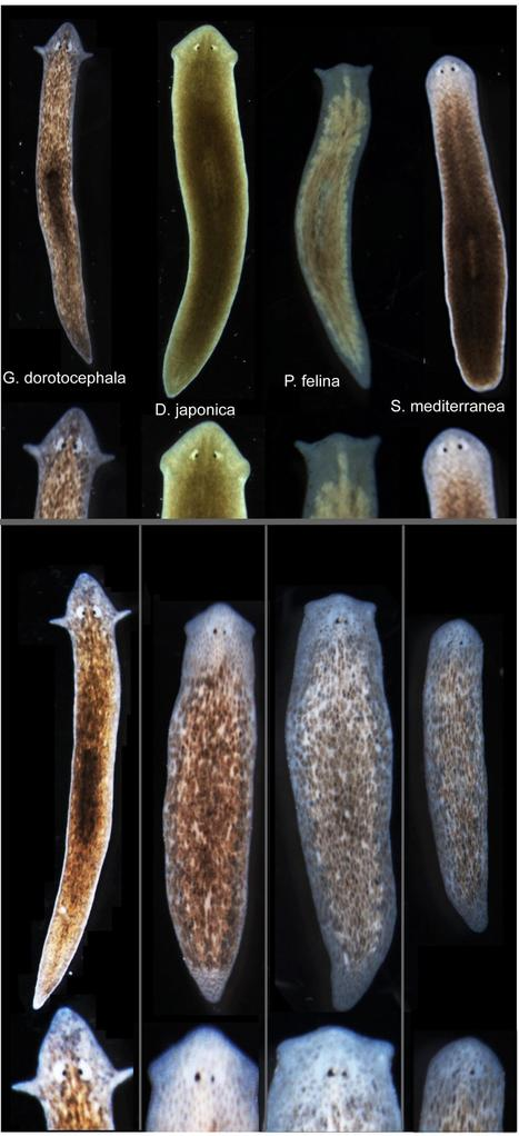 Biologists induce flatworms to grow heads and brains of other species | KurzweilAI | Amazing Science | Scoop.it