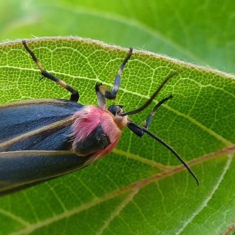 Papillon du Québec : Lithosie peinte - Hypoprepia fucosa | Fauna Free Pics - Public Domain - Photos gratuites d'animaux | Scoop.it