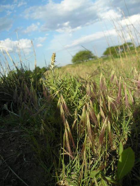 Podemos, a la familia de los pastos seguir llamandolas Gramíneas? | Natura educa | Scoop.it